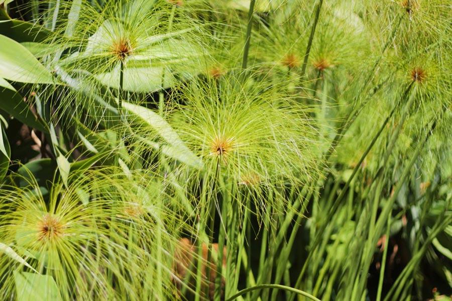 Planta Cyperus papyrus